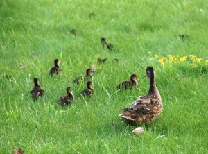 This is definitely the cutest thing I saw in Canandaigua. This little family was right by the lake.