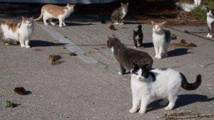 Feral cats of Ocracoke unite.